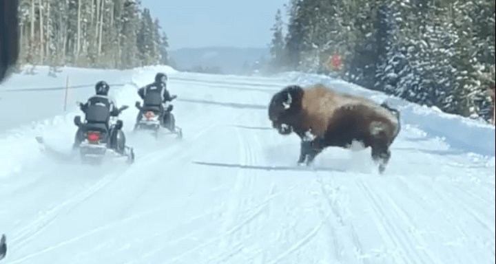 bison, charges, snowmobilers, Yellowstone, video