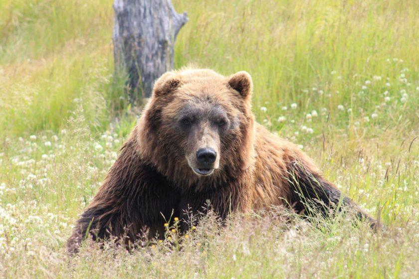 brown bear, bear, Russia, bears