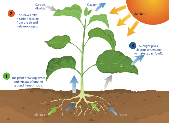 A diagram of photosynthesis