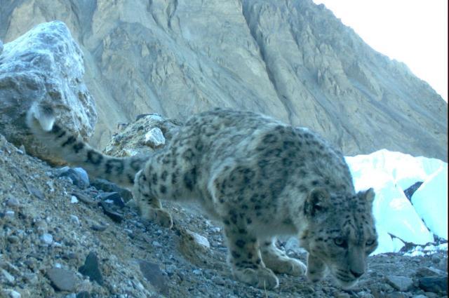 a wild snow leopard in Pakistan