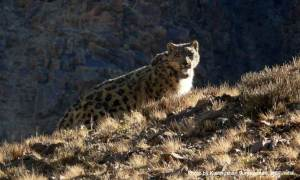 a wild snow leopard photographed by Kullu Suryawanshi during one of his studies