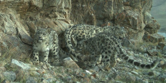 Kyrgyzstan's snow leopards are protected by communities that share their habitat