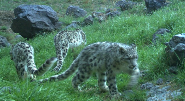 snow leopards have a taste for game