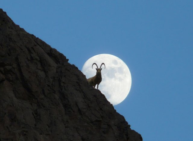 The snow leopard's preferred prey species, ibex (pictured) and argali sheep, are threatened by illegal hunting as well.