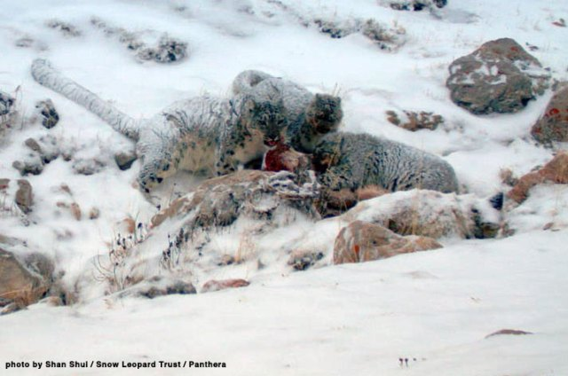 a wild snow leopard family enjoying a meal.