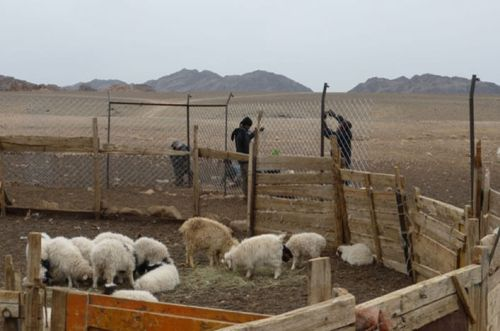 A holding pen in Mongolia's South Gobi is fenced in to keep snow leopards and other predators can't attack livestock.