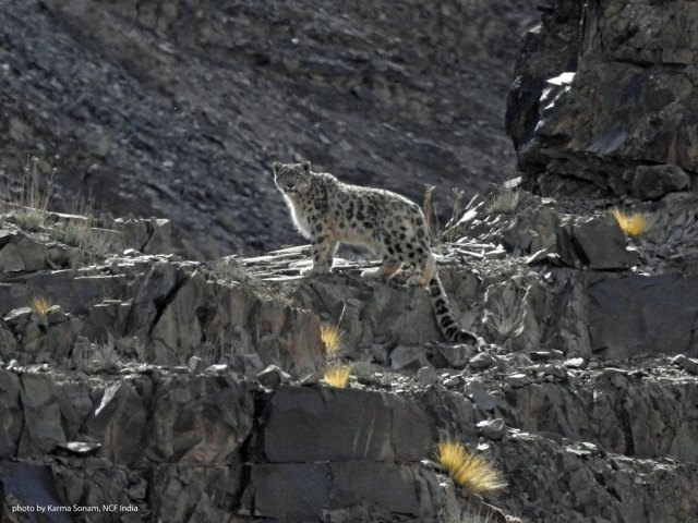 One of the cats I narrowly missed seeing in Ladakh. Photo: Karma Sonam, NCF India