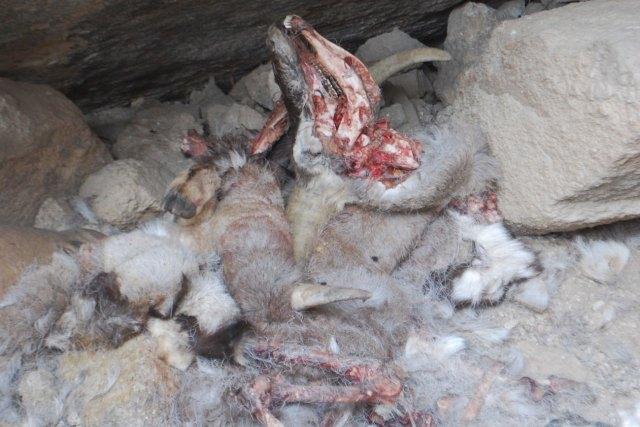 All that's left of the blue sheep is hide and bones. Photo: Matt Fiechter, SLT