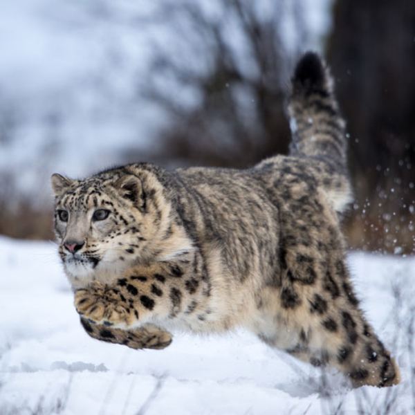 Running Snow Leopard Paul Sangeorzan