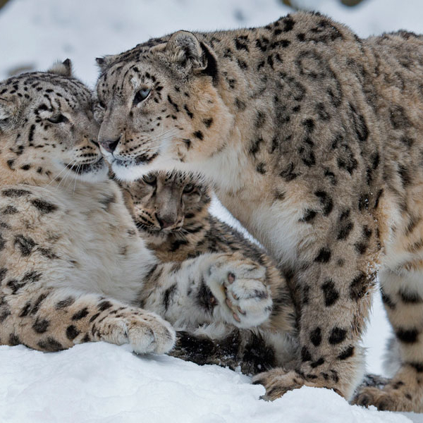 Snow Leopard Family, Peter Bolliger