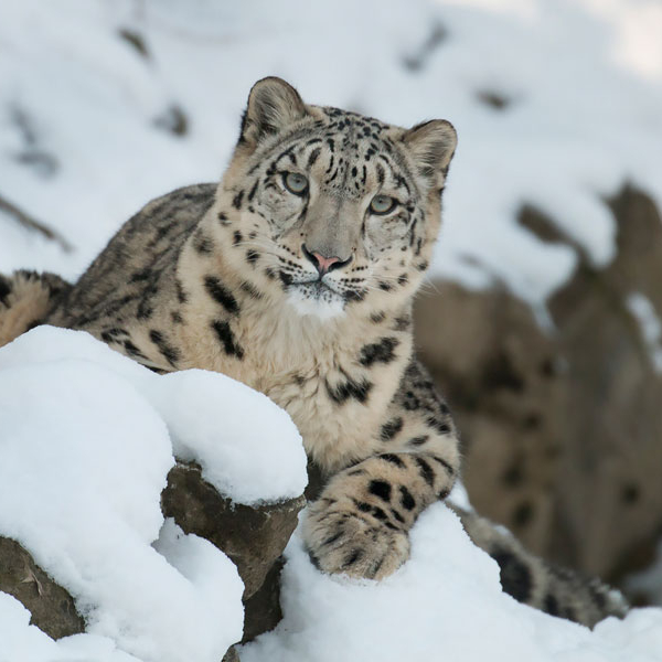 Snow Leopard in the Snow, Peter Bolliger