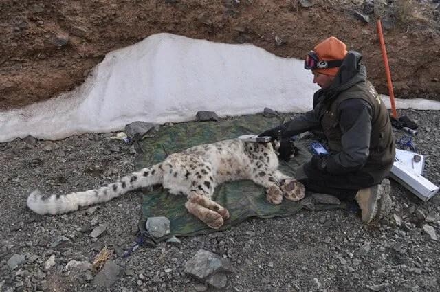 Örjan Johansson is fitting a GPS collar on a wild snow leopard during the study