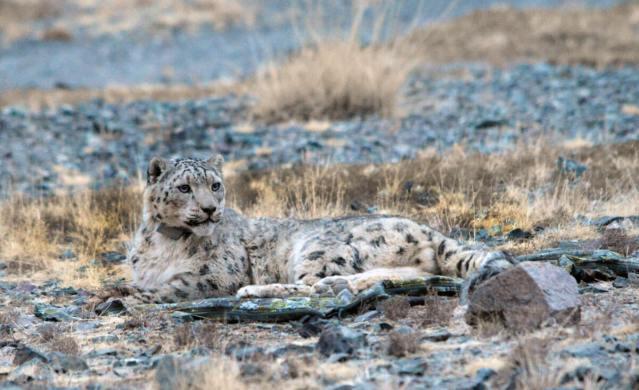 Tsetsen, snow leopard with GPS collar