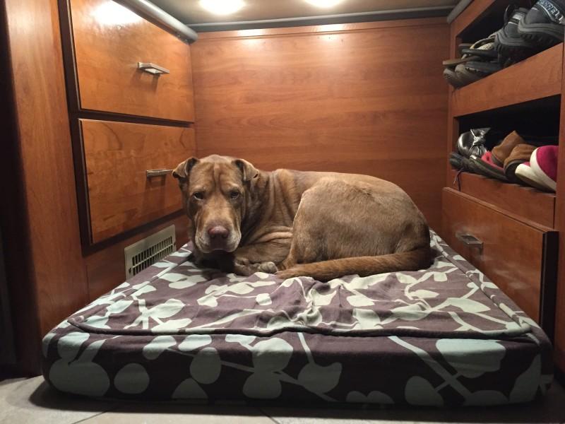 Chloe the Shar Pei mix sleeping in our RV