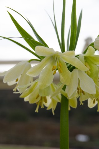 Fritillaria - before