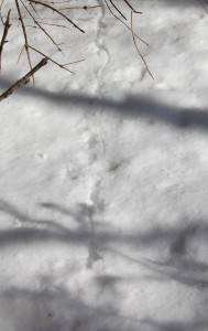 Spooked a ruffed grouse who graciously left me a great shot of her tracks