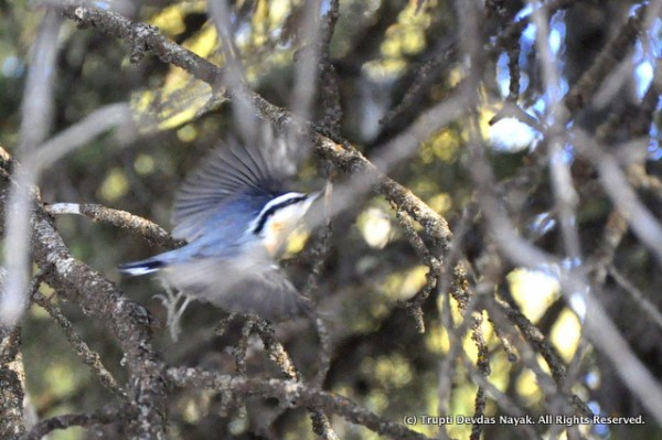 A red-breasted nuthatch in flight