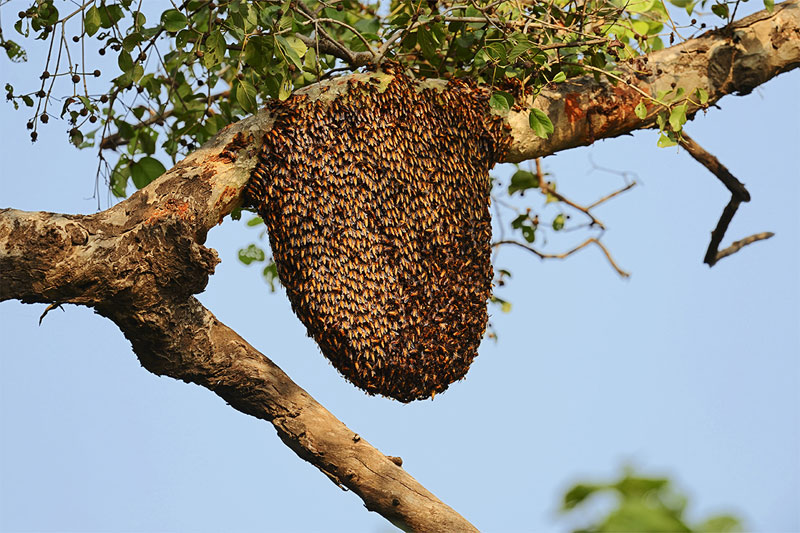 Bee Removal and Extraction