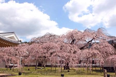 醍醐寺 お花見 しだれ桜