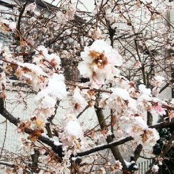 Köln-Rodenkirchen, Kirschblüte, Frühling, Blüte