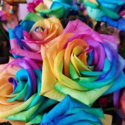 Rose, Rosen, bunt