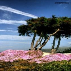 Landschaft, Kiefer, Natur, Blüte, pink