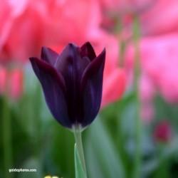 Tulpe, schwarze