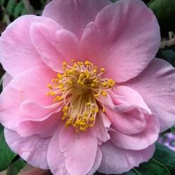 Kamelie, Blüte, pink, rosa