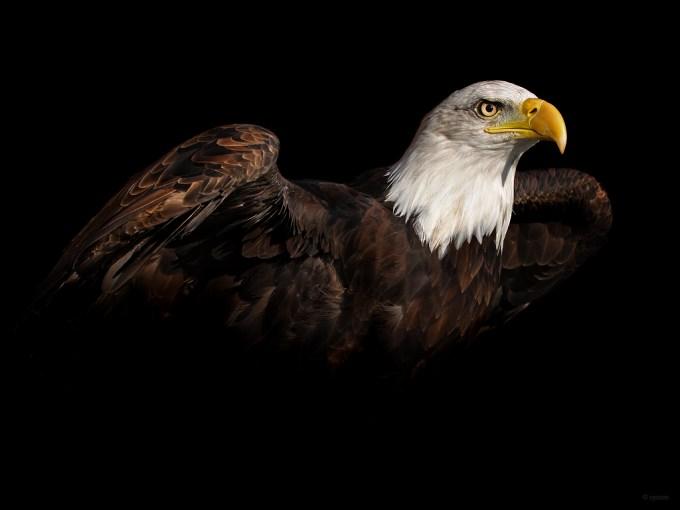 bald_eagle_wallpaper_by_cycoze-d4gt2wm