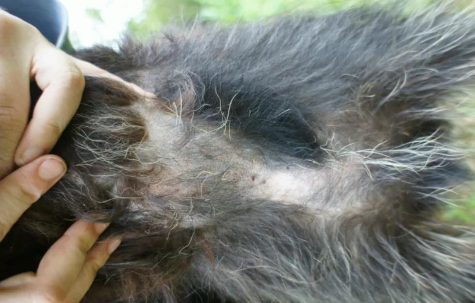 På halsen af hunden dråber uld