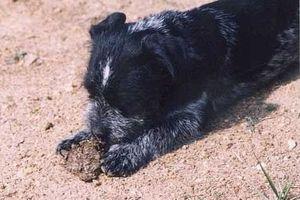 Почему собака ест кал. Почему собака ест свой кал