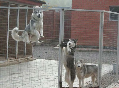 Köpekler için konforlu muhafazalar: Harcama ve hatalar olmadan kendin yap