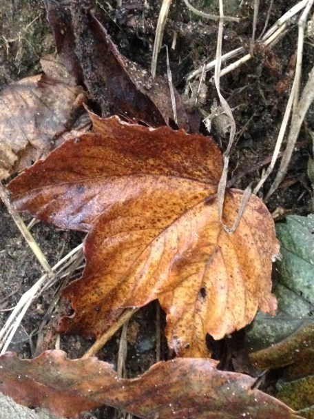 Coppery leaf. Copyright Fiona Michie.