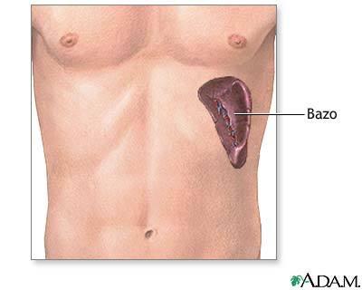 El mayor de los órganos linfáticos