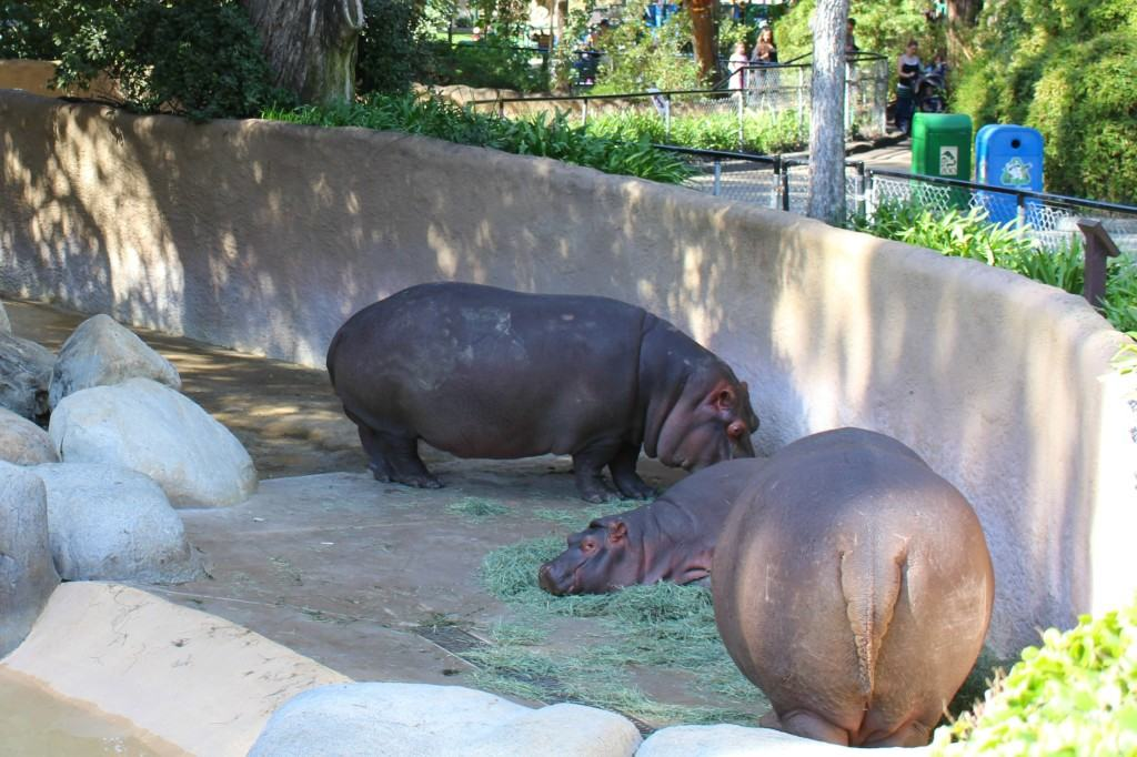 Behind The Scenes Hippo Encounter at The LA Zoo