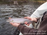 Angler about to release a sea-run cutthroat trout from the Rogue River in Southern Oregon.