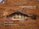 A jumbo yellow perch on the fillet table.