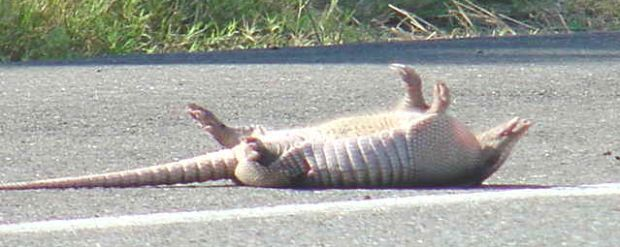 Armadillo - Bæltedyr