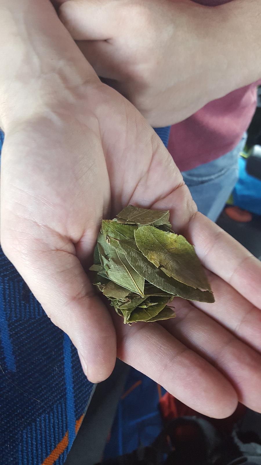 La feuille de coca agit comme stimulant. Elle favorise l'ouverture des voies respiratoires et apaise l'impression d'asphyxie du mal des montagnes. La consommation de coca remonte aux premières sociétés andines. Les Incas à partir du XIIIème siècle en ont fait une plante sacrée. L'art de mâcher les feuilles : on en fait d'abord une petite chique que l'on met dans la bouche, entre la joue et la gencive ; c'est le liquide extrait de cette chique qui, avalé, transmet ses vertus. Au XIXème siècle, le chimiste Albert Niemann a su extraire des feuilles une substance active qu'il nomma « cocaïne ».