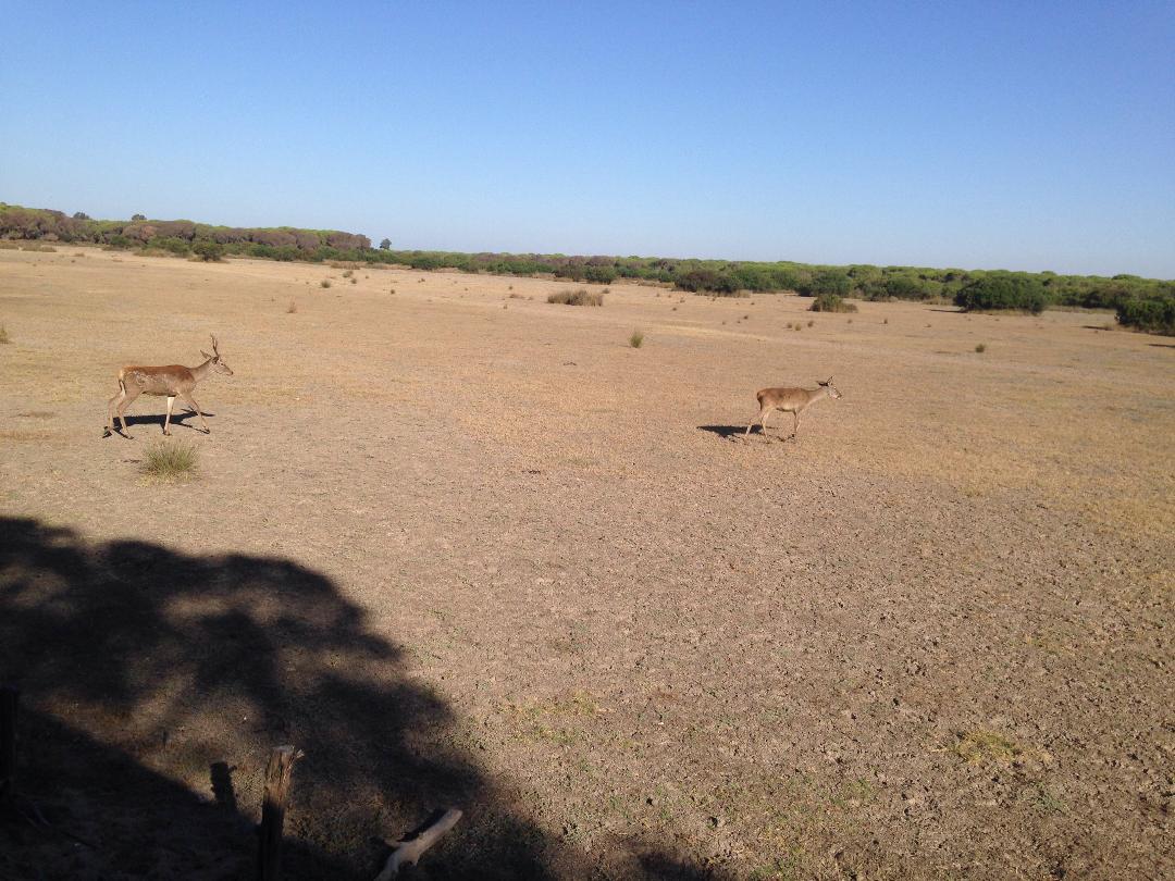 photo 1027 Daims dans le Parc national de Donana – Almonte Province de Huelva – sept. 2018