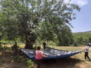 Près du monastère d'Amaras, chez Suzanne et Youri, la collecte professionnelle des mûres : un homme juché dans l'arbre frappe les branches avec un bâton pour faire tomber les fruits mûrs dans une grande toile.