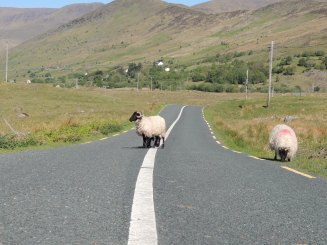 moutons route connemara sheep on road