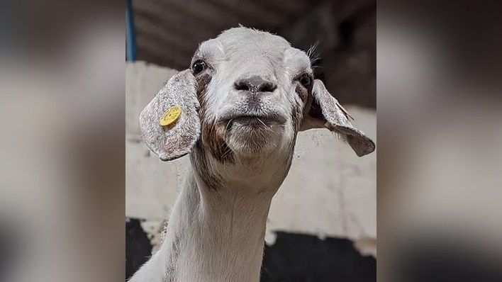 Goat Margaret