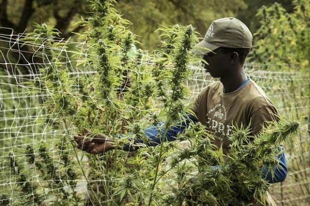cannabis-4688517_640