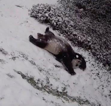 pandas enjoy the snow
