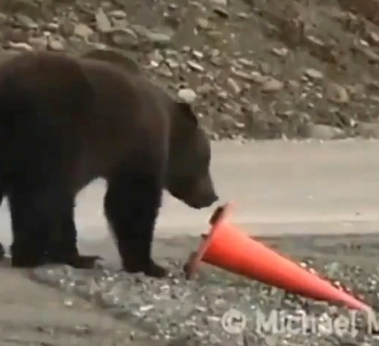 Grizzly bear with a traffic cone