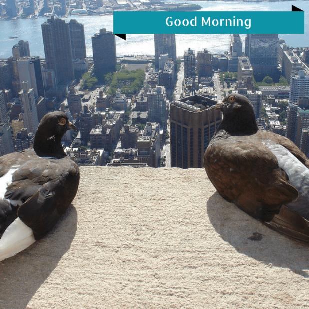 Pigeon good morning download