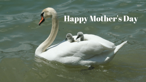 swan happy mother's day images