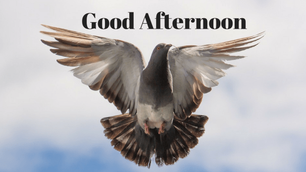 good afternoon pigeon wallpaper