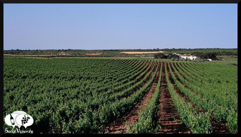 Vineyards in Utiel Requena wine region Spain- Vinas